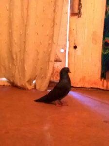 Resctae de la paloma Karina